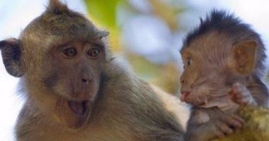 قصة المثل القائل .. القرد بعين أمه غزال