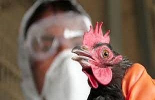 ما هو مرض انفلونزا الطيور؟ الأعراض والمضاعفات والعلاج
